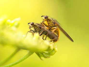 Yellow Dung Fly, County Clare, Munster, Republic of Ireland, Europe