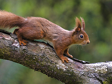 Red Squirrel, County Laois, Ireland