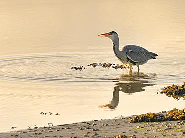 Grey Heron (Ardea cinerea), County Clare, Ireland