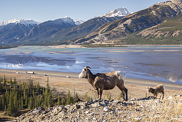 Rocky Mountain Bighorn Sheep ewe and lamb (Ovis canadensis) overlooking Highway 16 traffic, Jasper National Park, UNESCO World Heritage Site, Alberta, Canada, North America