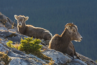 Rocky Mountain Bighorn Sheep ewe and lamb (Ovis canadensis), Jasper National Park, UNESCO World Heritage Site, Alberta, Canada, North America