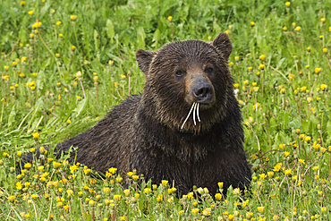 Grizzly Bear (Ursus arctos) lying in a field of dandelions, Spray Valley Provincial Park, Kananaskis, Alberta, Canada, North America