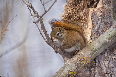 Red squirrel (Tamiasciurus hudsonicus) in the boreal forest in winter, Elk Island National Park, Alberta, Canada, North America