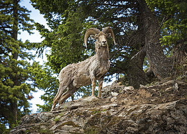 Bighorn sheep ram (Ovis canadensis), Banff National Park, Alberta, Canada, North America