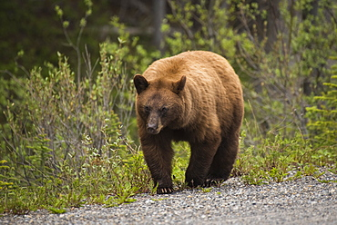 Cinnamon coloured black bear (Ursus americanus), Spray Valley Provincial Park, Kananaskis Country, Alberta, Canada, North America