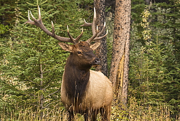 Bull Elk (Wapiti), Banff National Park, UNESCO World Heritage Site, Alberta, Canadian Rockies, Canada, North America