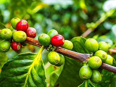Ripe and unripe coffee berries on a bush, Hacienda Guayabal, near Manizales, Coffee Region, Colombia, South America
