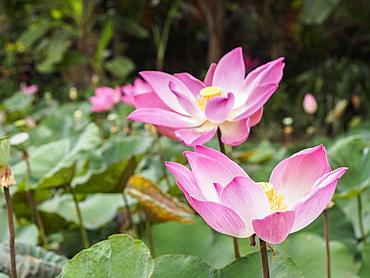 Pink lotus, Bali, Indonesia, Southeast Asia, Asia