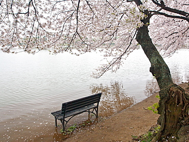 Cherry blossoms and Tidal Basin, Washington, DC, United States of America, North America