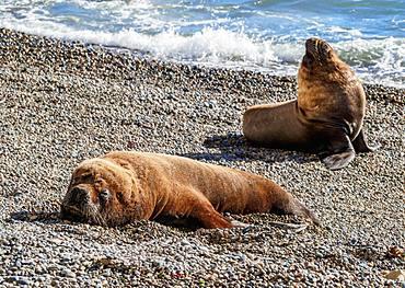 South American Sea Lions (Otaria flavescens), males, Punta Ninfas, Atlantic Coast, Chubut Province, Patagonia, Argentina, South America