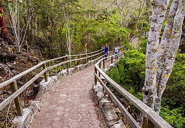 Palo Santo Forest by the Tortuga Bay trail, Santa Cruz (Indefatigable) Island, Galapagos, UNESCO World Heritage Site, Ecuador, South America