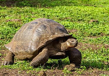 Giant Tortoise, El Chato, Highlands of Santa Cruz (Indefatigable) Island, Galapagos, UNESCO World Heritage Site, Ecuador, South America