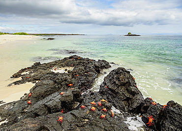 Sally Lightfoot Crabs (Grapsus grapsus), Bachas Beach, Santa Cruz (Indefatigable) Island, Galapagos, UNESCO World Heritage Site, Ecuador, South America