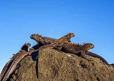 Marine iguanas (Amblyrhynchus cristatus), San Cristobal (Chatham) Island, Galapagos, UNESCO World Heritage Site, Ecuador, South America