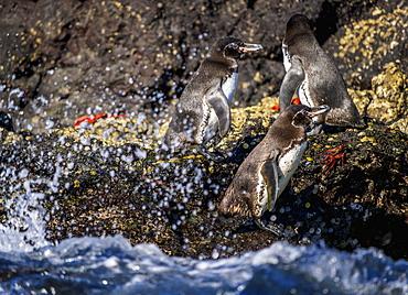 Galapagos penguins (Spheniscus mendiculus), Bartolome Island, Galapagos, UNESCO World Heritage Site, Ecuador, South America