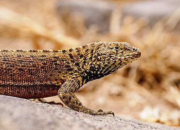 Lava lizard (Microlophus delanonis), Punta Suarez, Espanola (Hood) Island, Galapagos, UNESCO World Heritage Site, Ecuador, South America