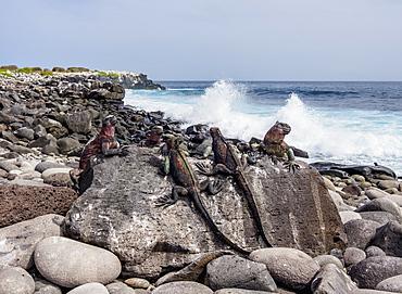 Marine iguanas (Amblyrhynchus cristatus), Punta Suarez, Espanola (Hood) Island, Galapagos, UNESCO World Heritage Site, Ecuador, South America
