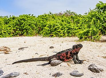 Marine iguana (Amblyrhynchus cristatus) on a beach at Punta Suarez, Espanola (Hood) Island, Galapagos, UNESCO World Heritage Site, Ecuador, South America