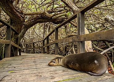 Sea Lion (Zalophus wollebaeki), Mangrove Forest on a trail to Concha de Perla, Isabela (Albemarle) Island, Galapagos, UNESCO World Heritage Site, Ecuador, South America