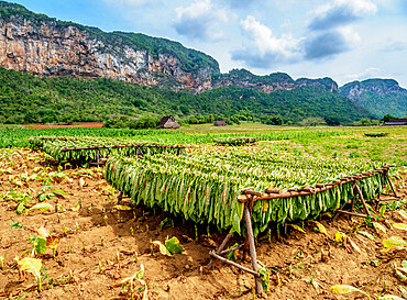 Tobacco leaves drying in the field, Vinales Valley, UNESCO World Heritage Site, Pinar del Rio Province, Cuba, West Indies, Caribbean, Central America