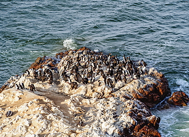 Humboldt penguins (Spheniscus humboldt) on the rock in Lagunillas, Paracas National Reserve, Ica Region, Peru, South America