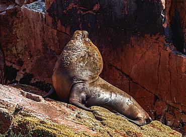 Sea Lion (Otaria flavescens), Ballestas Islands near Paracas, Ica Region, Peru, South America