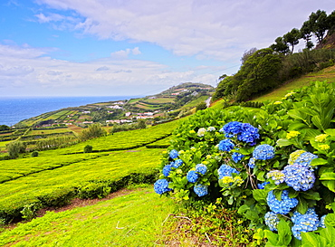 Porto Formoso tea fields, Sao Miguel Island, Azores, Portugal, Atlantic, Europe