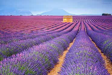 House in a lavender field at sunset, Plateau de Valensole, Alpes-de-Haute-Provence, Provence-Alpes-Cote d'Azur, France, Europe