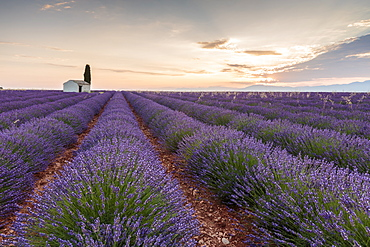 Rural house with tree in a lavender crop at dawn, Plateau de Valensole, Alpes-de-Haute-Provence, Provence-Alpes-Cote d'Azur, France, Europe
