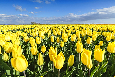 Yellow tulips in a field, Yersekendam, Zeeland province, Netherlands, Europe