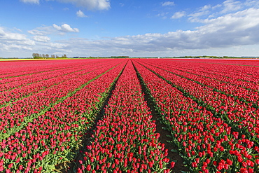 Red tulips in field, Yersekendam, Zeeland province, Netherlands, Europe