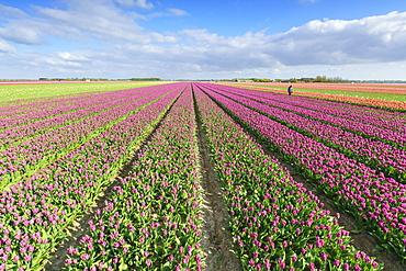 Pink tulips in field, Yersekendam, Zeeland province, Netherlands, Europe