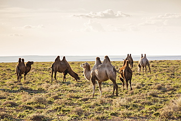 Camels grazing, Ulziit, Middle Gobi province, Mongolia, Central Asia, Asia