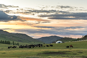 Shepherd on horse rounding up yaks at sunset, Burentogtokh district, Hovsgol province, Mongolia, Central Asia, Asia