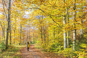 Woman walking in a beech tree forest in autumn, Bad Tolz-Wolfratshausen district, Bavaria, Germany, Europe
