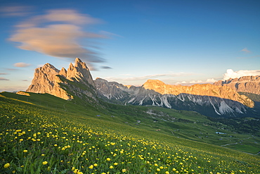 Field of globeflowers by Seceda mountain in Ortisei, Italy, Europe