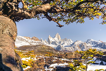 Fitz Roy range peaks with tree in autumnal landscape, El Chalten, Los Glaciares National Park, UNESCO World Heritage Site, Santa Cruz province, Argentina, South America