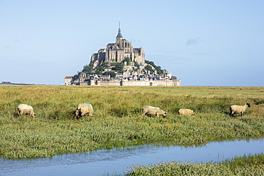Sheep grazing with the village in the background, Mont-Saint-Michel, UNESCO World Heritage Site, Normandy, France, Europe