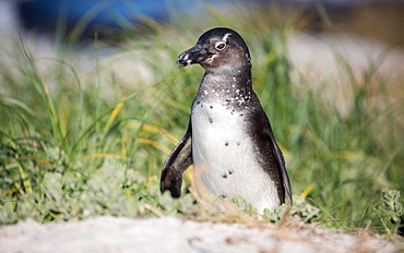 South African penguin (jackass penguin) at Boulders Beach in Simon's Bay on the Cape Peninsula, South Africa, Africa
