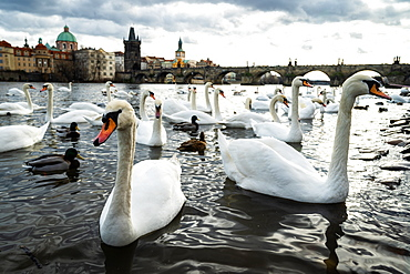 Swans gather on the banks of the Vltava river with Charles Bridge in the background, Prague, Czech Republic, Europe