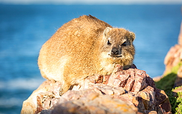 Rock Dassie (hyrax) in Hermanus, Western Cape, South Africa, Africa