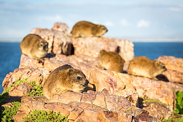 Rock Dassies (hyrax), Hermanus, Western Cape, South Africa, Africa