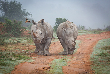 Two Rhinos and an oxpecker bird in the Amakhala Game Reserve in the Eastern Cape, South Africa, Africa