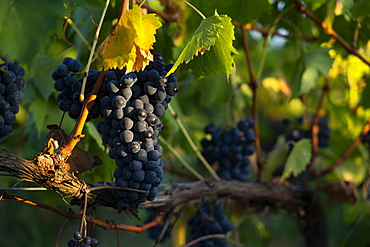 Grapevine at sunset in Montefalco, Italy, Europe