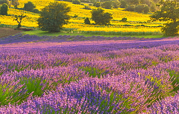 Lavender fields at sunset, Corinaldo, Marche, Italy, Europe
