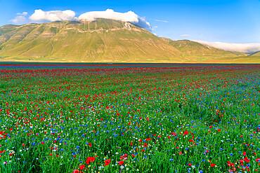 Flowers blooming on Piano Grande di Castelluccio di Norcia plateau, Sibillini Mountain range, Apennines, Umbria, Italy, Europe