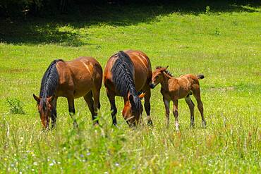 Horses on Pian delle Macinare plateau, Mount Cucco Park, Apennines, Umbria, Italy, Europe
