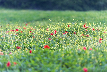 Poppies blooming in the fields, Umbertide, Umbria, Italy, Europe