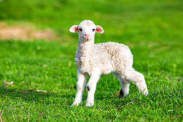 Cute little lamb in spring time, Salciua, Romania