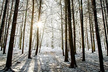 Winter forest in Chinteni, Transylvania, Romania, Europe